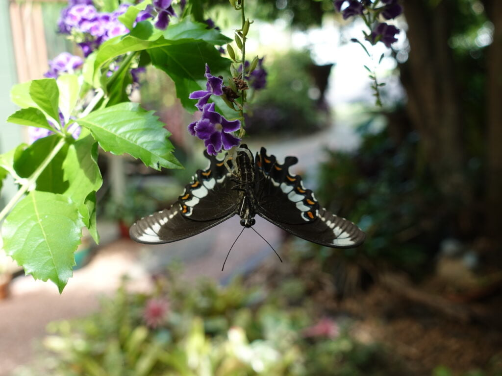 Black fuscous Swallowtail caught by spider Butterfly