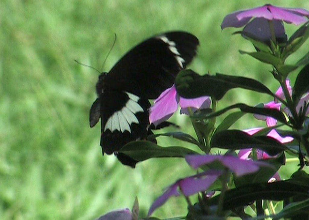 Papilio Aegus
